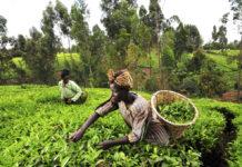 OCP fertilizers Kenya agriculture