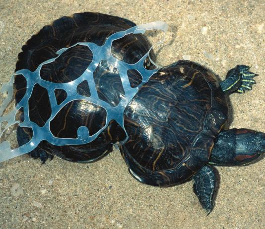 Mediterranean turtle pollution plastic