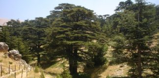 Lebanon, cedar forests, climate change,