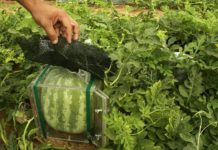 cube watermelons, Lebanon, agriculture,